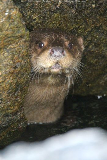 Otter hiding in Scaloway Harbour