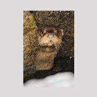 Otter hiding in Scalloway horbour